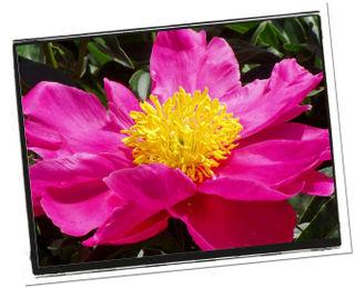 Pinkflower1